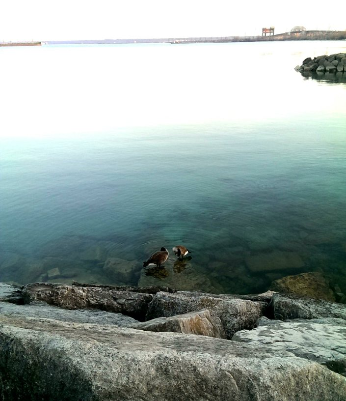 Ducks at Burlington's Lakeshore