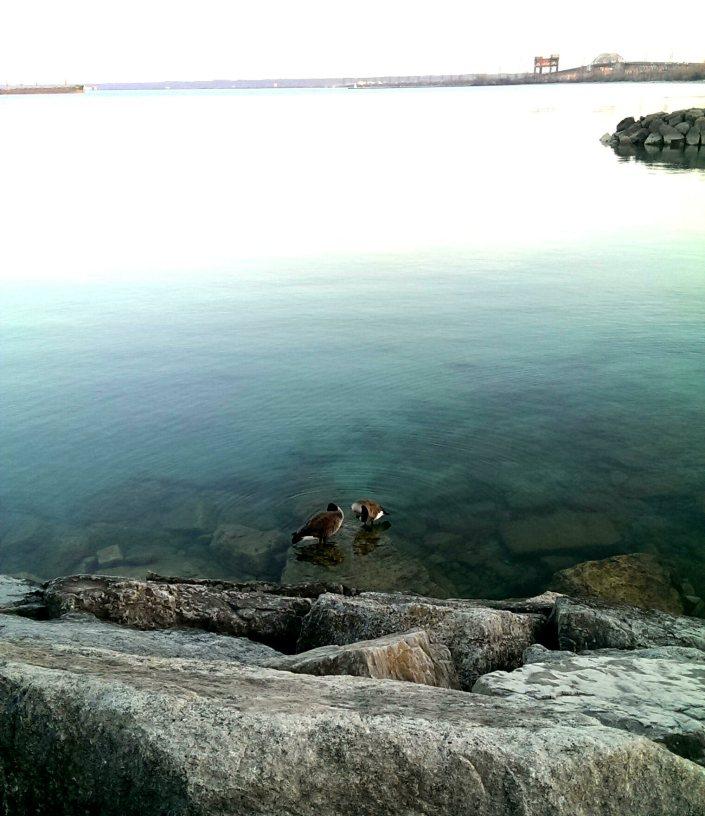 Ducks at Burlington's Lakeshore